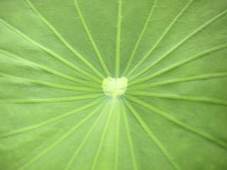 Close up of a lotus leaf