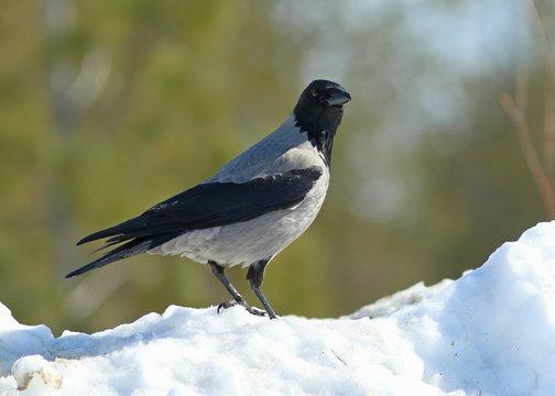 Corvus cornix. Grey crow in early spring in Yamal