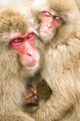 体を寄せ合う日本猿の親子