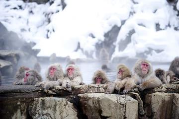 Troop of Macaque in water, Jigokudani Monkey Park