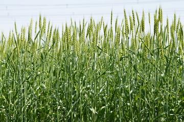 小麦(農林61号)