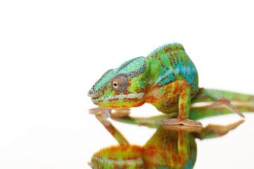 alive chameleon reptile Wall mural