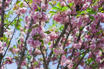 sakura japanese flower tree in nature