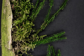 Composition of Moss Growing from Old Tree Branch and Placed on Black Background Surface