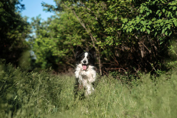 border collie dog tricks in the forest