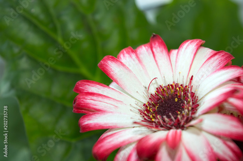 Blooming gerbera flower with white petals with pink tips popular blooming gerbera flower with white petals with pink tips popular ornamental houseplant with beautiful foliage mightylinksfo