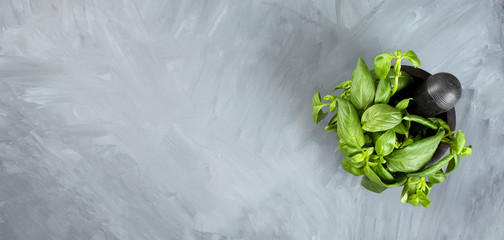 Bunch of fresh basil- traditional ingredient of italian cuisine