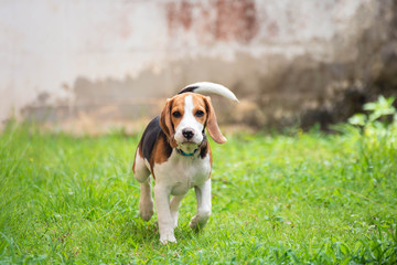 Cute beagle dog running on the grass