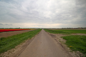 country road between fields with tulip flowers in wide angle view on the island Goeree Overflakkee in the Netherlands.