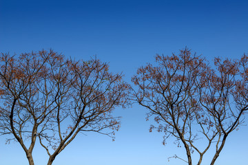 Chinaberry melia tree isolated over blue sky