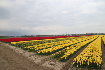 Fields of orange tulips in a row on the island Goeree Overflakkee during springtime in the Netherlands