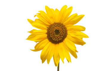 Flower of sunflower isolated on white background. Seeds and oil. Flat lay, top view