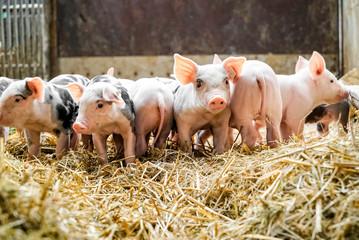 Schweinehaltung - niedliche, kleine Ferkel im Stroh
