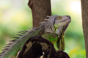 one iguana is on branch of the tree