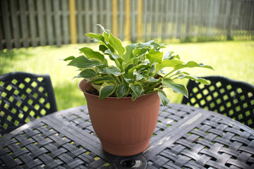 Sun Hosta in a pot on iron patio set. ground cover plant that loves shade