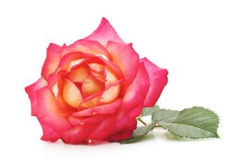 One pink rose.