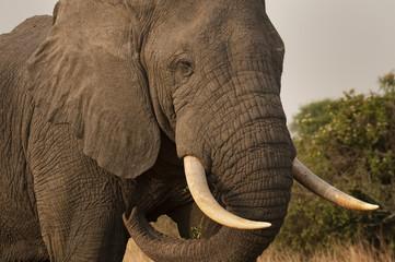 Bull elephant in QE National Park;  Uganda
