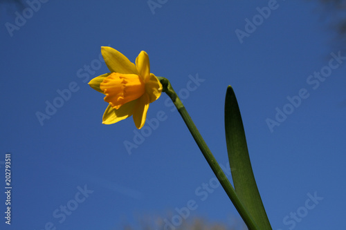Fleur De Jonquille Stock Photo And Royalty Free Images On Fotolia