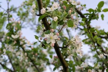 Spring tree flowering white blooming tree. Slovakia