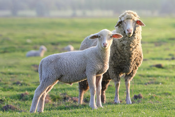 Lamb and sheep on the field