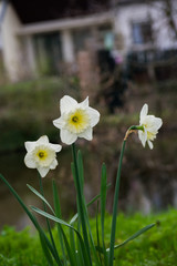 Garden Poster Narcissus White Daffodil Narcis Flower Yellow Blooming Outside Plant Spring