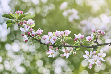 Blooming apple twig on apple tree. Blurred nature background.