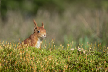Türaufkleber Eichhornchen red squirrel stands in the green moss and looks around alertly
