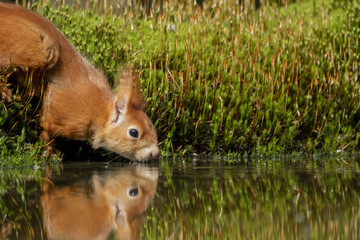 Türaufkleber Eichhornchen red squirrel with thirst drinks in a water on the waterfront with reflection in the water