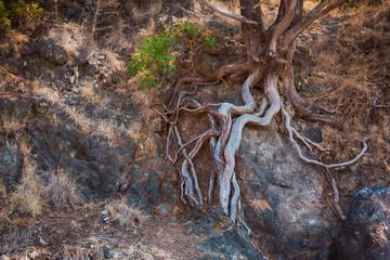 Tree roots growing through the rock Mountain