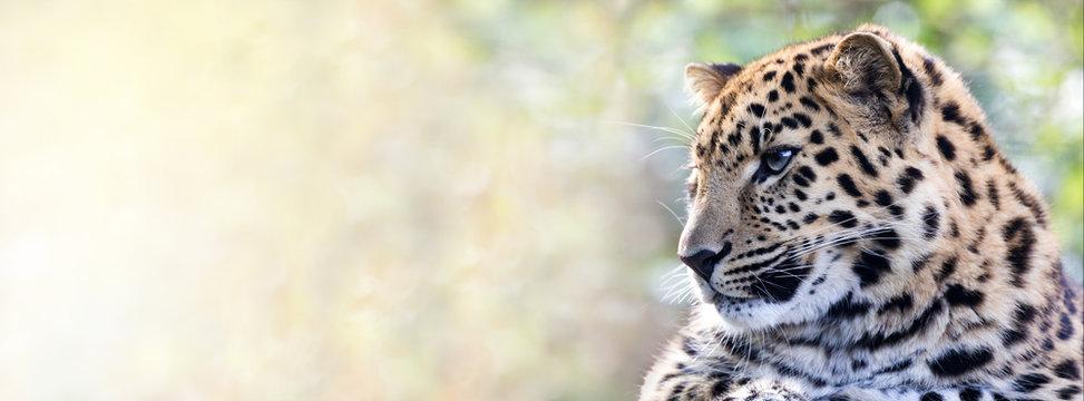 Amur leopard in sunlight