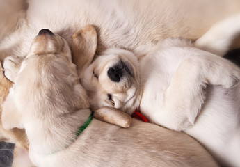 Two labrador puppies sleeping with her mother together