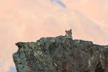 Puma (Puma concolor) sobre una roca con líquenes al atardecer