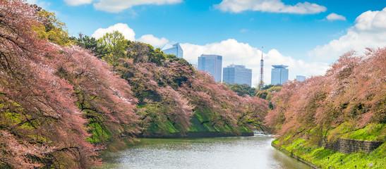Sakura  tree at Kitanomaru Garden. japan landscape. Cherry Blossoms in Tokyo with Tokyo Tower on background