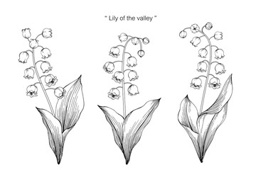 Lily of the valley flower drawing illustration. Black and white with line art on white backgrounds.