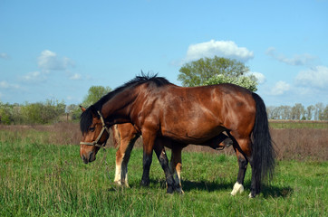 Horse grazing in the meadow. 5 km. near Chernobyl area border.