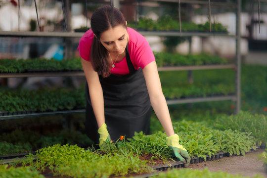 Greenhouse Female Worker Taking Care of Seedlings