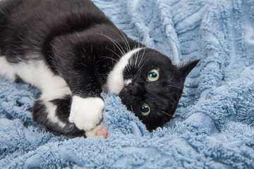 Playful black and white tuxedo cat laying on a blue blanket
