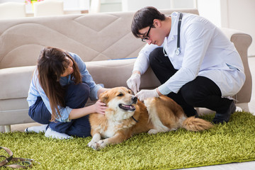 Vet doctor visiting golden retriever dog at home