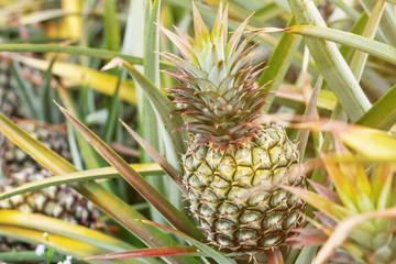 Pineapple on plots.