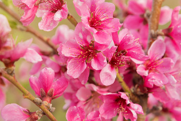 blossoming peaches, pink flowers close-up, beautiful lighting