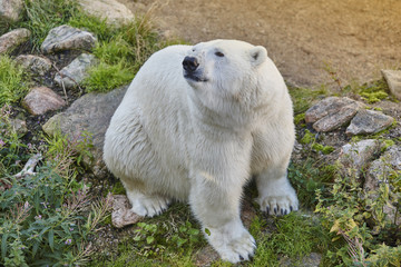 Polar bear in the wilderness. Wildlife animal background