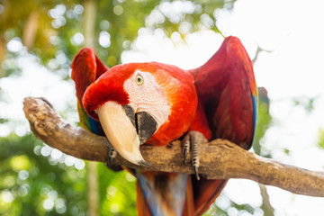 Playful looking Scarlett Macaw bird parrot with red in Macaw Mountain, Copan Ruinas, Honduras, Central America
