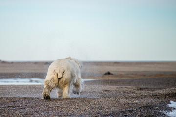 体を振って水飛ばしを行うホッキョクグマ