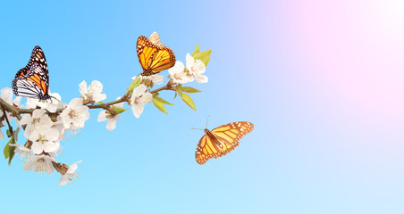 Fototapete - Flowers of cherry and monarch butterflies