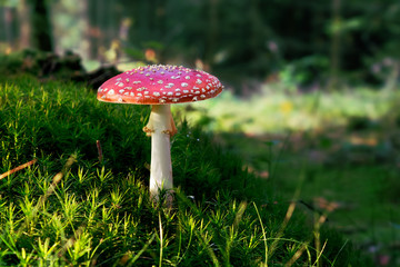Fly Agaric (Amanita muscaria) poisonous mushroom in forest