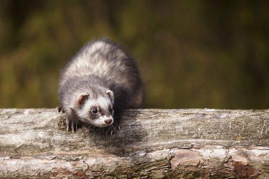 Standard color ferret sitting on tree and enjoying their walk and game in park