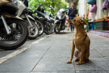 A street dog in Hanoi, Vietnam.