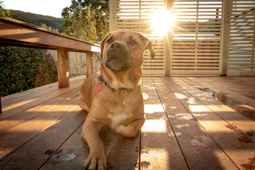 Dog Relaxs On Porch With Sun In Background Warm Afternoon