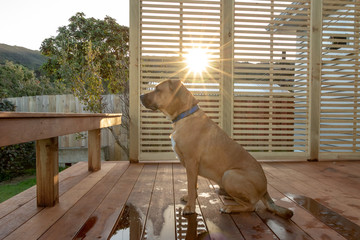 Rhodesian Dog Waits On Patio With Sunset in Background