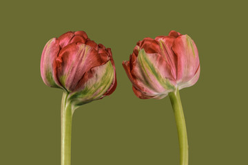 Two tulips against plain background, red and green